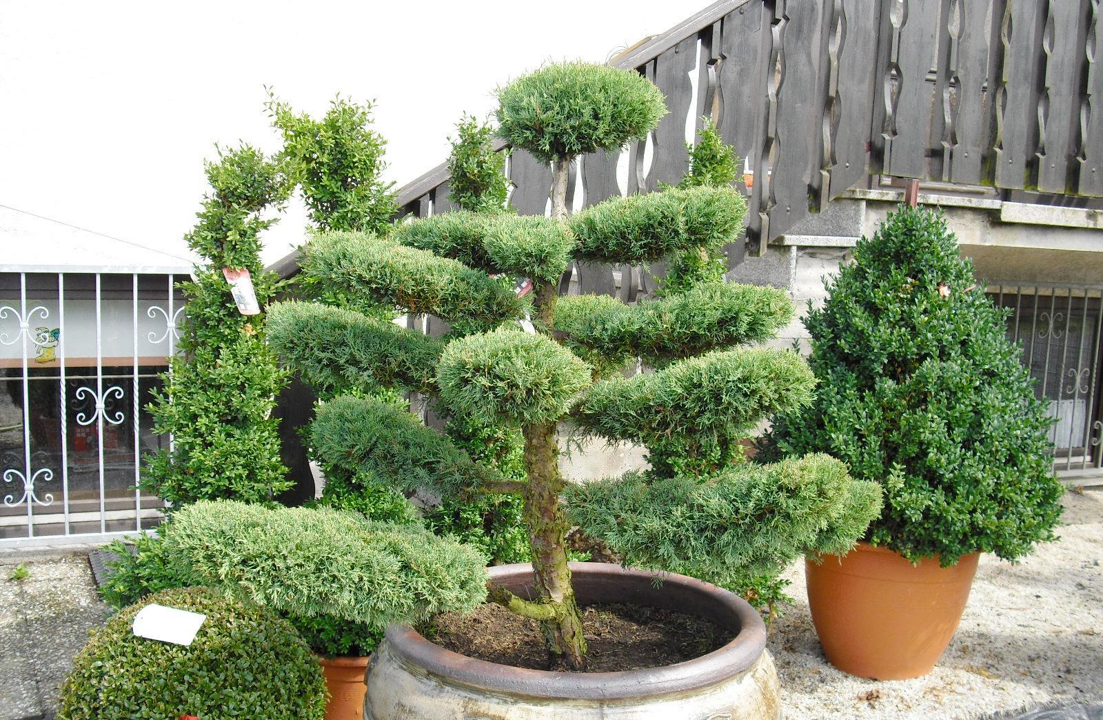 gartenbonsai in xxl bonsai f r ihren garten vom. Black Bedroom Furniture Sets. Home Design Ideas
