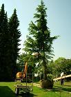 XXL-Bäume vom Fachbetrieb