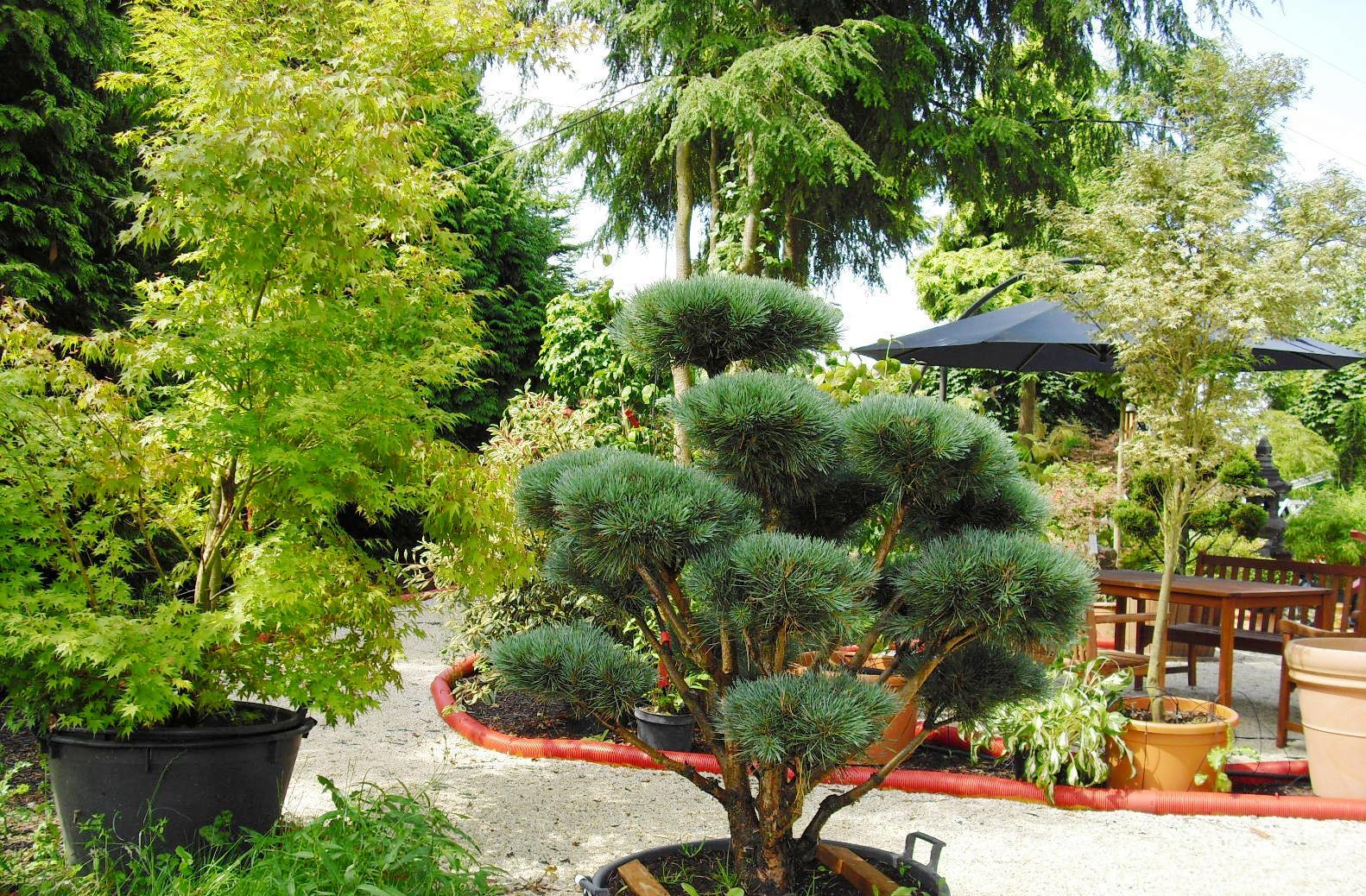 gartenbonsai vom fachbetrieb bonsai in xxl. Black Bedroom Furniture Sets. Home Design Ideas
