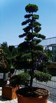 XXL-Bonsai für Ihren Garten