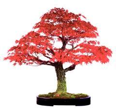 Gartenbonsai Fachbetriebhttp://www.xxl-bonsai.de